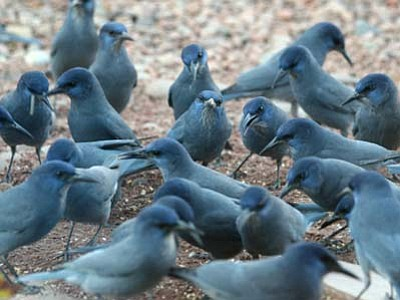 A flock of Pinyon Jay's. (Courtesy photo)