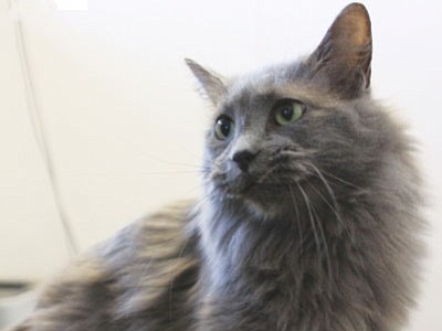 Smokey is a 4-year-old domestic medium-hair who, although shy, is also very sweet. She loves everyone once she gets to know them. Smokey will make a wonderful pet for an individual or a family with older, respectful children. (Courtesy photo)