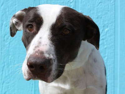 Alice is a 2-year-old English Pointer mix who was very timid when rescued by YHS in May. Today, Alice is eager to be in your company, and she loves to frolic with other pooches, too. Alice will benefit from continued socialization from an experienced owner in a mature household. She is affectionate, fun-loving, well-mannered, and willing to learn. (Courtesy photo)