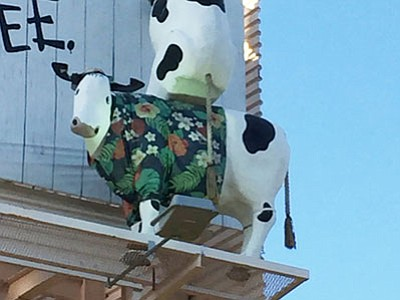A resourceful starling was spotted pulling strands for nesting from the tail of a cow on a Chick-fil-A billboard. (Courtesy photo)