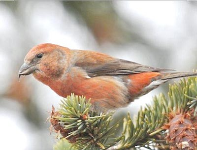 Male red crossbill<br /><br /><!-- 1upcrlf2 -->