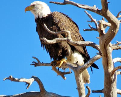 Everett Sanborn/Courtesy<br /><br /><!-- 1upcrlf2 -->A Willow Lake Bald-Eagle photo submitted by a reader.