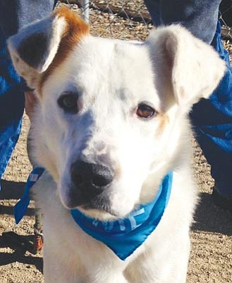 Courtesy photo<br>Wesson is a happy, light-hearted 2-year-old Australian Shepherd mix keen on being a hiking buddy or strolling chum. If you want to score points with him, just pull out the grooming brush and he will worship the ground you walk on.