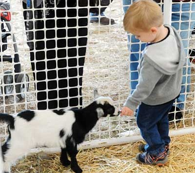 Les Stukenberg/The Daily Courier, file<br> Hunter MacGregor finds a goat just his size to feed at the 2014 Yavapai Fair in Prescott Valley. This year's fair would be the first in Prescott since 2001.