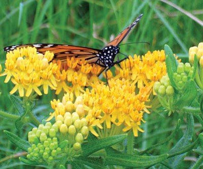 Milkweed varieties are available to support migration of Monarch butterflies. (Courtesy photo)