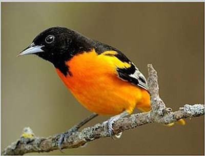 Male Bullock's Oriole (Courtesy)