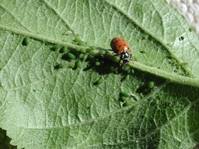 Convergent ladybird beetle (Hippodamia convergens) on apple leaf consuming aphids (Photo by Jeff Schalau)