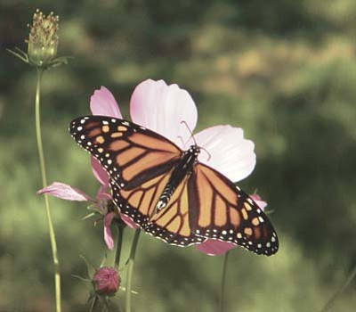 Courtesy Photo/Coya Steele Silverlake<br> Learn about the monarch butterfly migration across Arizona and how you can grow a monarch butterfly waystation in your backyard!