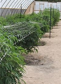 Courtesy photo<br> A portion of the growing operation