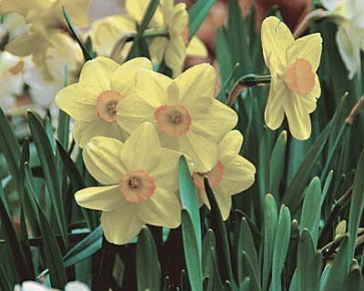 Courtesy photo<br> Fall is the perfect time to plant trees, shrubs and bulbs, such as these daffodils. Planting now will bring a burst of color next spring.