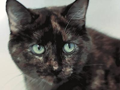 Courtesy photo<br> Yavapai Humane Society puts feral cats to work in an effective rodent abatement program called Barn Cats. Miley is a beautiful 5-year-old tortoiseshell barn cat ready to go to work for you. Call 928-445-2666 for more information.
