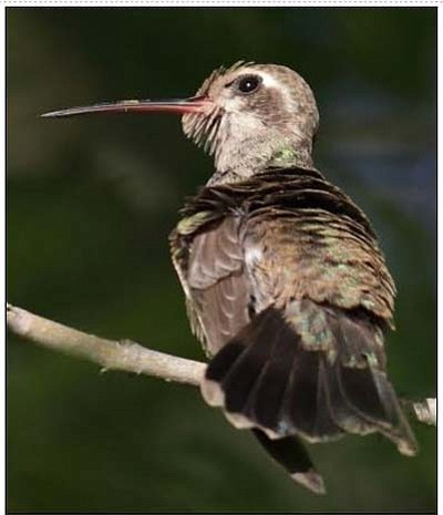 Female broad-tailed hummingbird that has been coming to my backyard for the past week. (Courtesy Eric Moore)