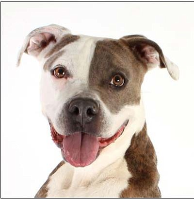 Hazy is a 2-year-old, intelligent girl who likes to play with stuffed toys and sit for yummy treats. She would love a home with owners who are breed-savvy, active and eager to continue her basic obedience training. (Courtesy photo)