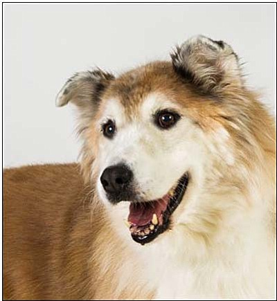 Courtesy<br>Fancy is a lovely Shepherd mix who enjoys attention from people and other dogs too! This sweet gal loves to take leisurely walks and napsin warm, sunny spots. Fancy is eight-years old and would love a home before November—National Senior Pet Month—is over.