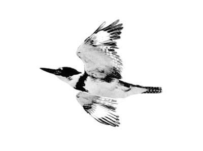 Kingfisher (Courtesy photo)