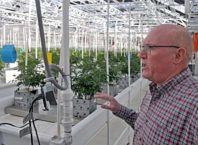 Matt Hinshaw/The Daily Courier<br>Alan Abrams, director of operations at the Sun King Labs marijuana grow house in Chino Valley, talks about the young plants inside one of the greenhouses Friday afternoon.w