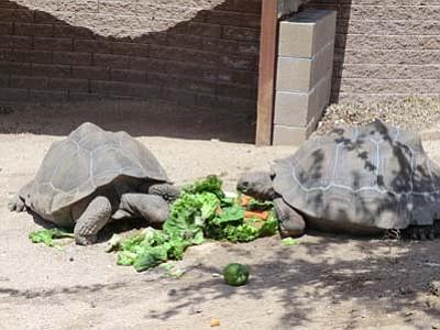 Tortoises eat produce at Heritage Park Zoological Sanctuary. (Courtesy of Heritage Park Zoological Sanctuary)