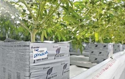 A bar code on one of the marijuana plants at the Sun King Labs marijuana grow house in Chino Valley identifies the plant. Every plant has a bar code on it. (Matt Hinshaw/The Daily Courier)<br /><br /><!-- 1upcrlf2 -->