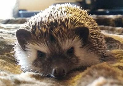 Howie the hedgehog (Courtesy photos)