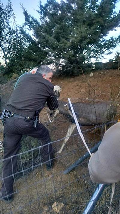 Courtesy photo<br> Oh, deer! Sheriff's deputies help a homeowner cut a buck loose from fencing on Tuesday.