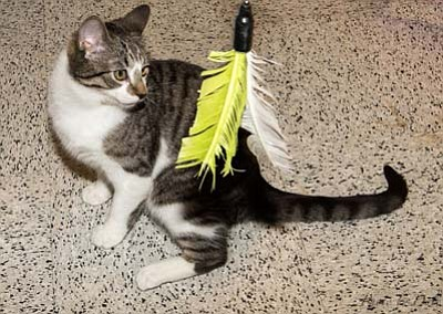 United Animal Friends is celebrating Kitty City's fifth anniversary at the Prescott Petco Saturday and Sunday, Feb. 13 and 14. Sonia is one of the many cats and kittens available for adoption at Kitty City.  (Courtesy photo)