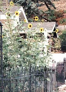 Courtesy photos Sunflowers, left, reach for the sky while other bloomers surround a sculpture in Ann Alexander's garden at the corner of Willis and McCormick streets in Prescott. The Alta Vista Garden Club chose Alexander's plot as the August Garden of the Month.