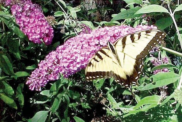 The butterfly bush, Buddleja davidi, also known as the summer blooming lilac, attracts butterflies all season long.