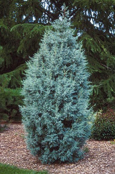 Courtesy Now is the best time to plant large evergreens, which can shield ugly views and create more privacy.
