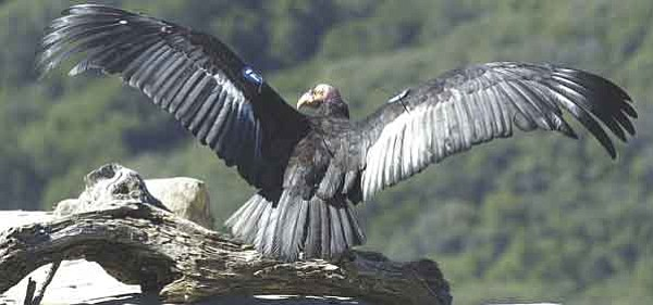 Courtesy/U.S. Fish and Wildlife Service – The condor is the largest flying bird in North America. Adult birds can weigh as much as 26 pounds with a wingspan of up to 9.5 feet. Sixty-nine condors, including 59 in the wild and 10 awaiting release, live in Arizona.