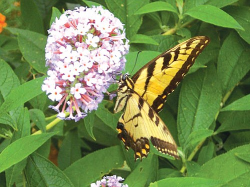 A butterfly enjoys a sip from the nectar of a butterfly bush.