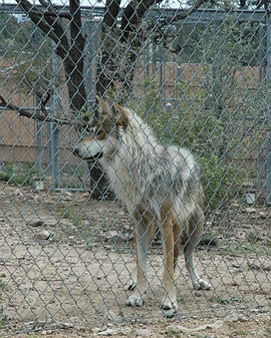 The Daily Courier/Sam Lifshutz --- The Heritage Park Zoo currently cares for multiple Mexican Gray Wolves. Eventually, if state and governmental agencies agree that the wolves are fit for the wild, they will release them in the forests of eastern Arizona and western New Mexico.