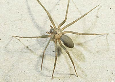 Brown recluse.