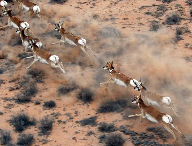 Courtesy/Richard Ockenfels, AG&FD A newly-collared doe runs with the herd in Big Chino Valley last week.