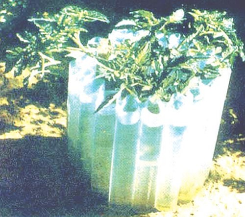 Courtesy<br> A Wall-O-Water keeps early vegetables safe from freezing temperatures.