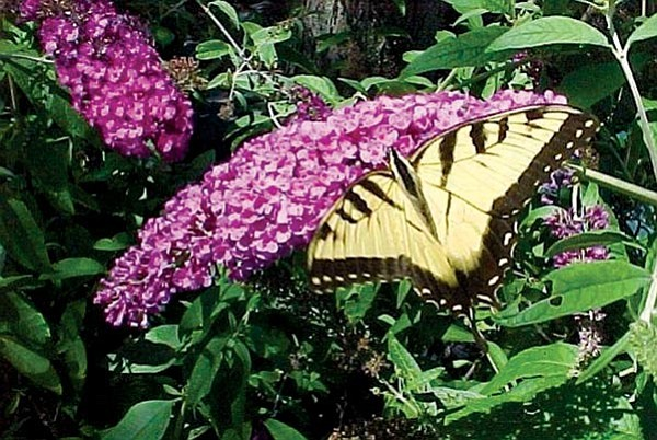 Courtesy<p> The butterfly bush is one of the last bushes to drop its foliage and one of the first to put on new leaves.
