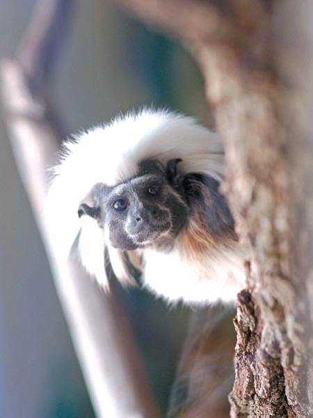 Jo. L. Keener/The Daily Courier <p> One of three new Cotton-top Tamarin primates peers around a perch Tuesday morning at Heritage Park Zoological Sanctuary. The three primates acquired in April are waiting for builders to finish their new enclosure.