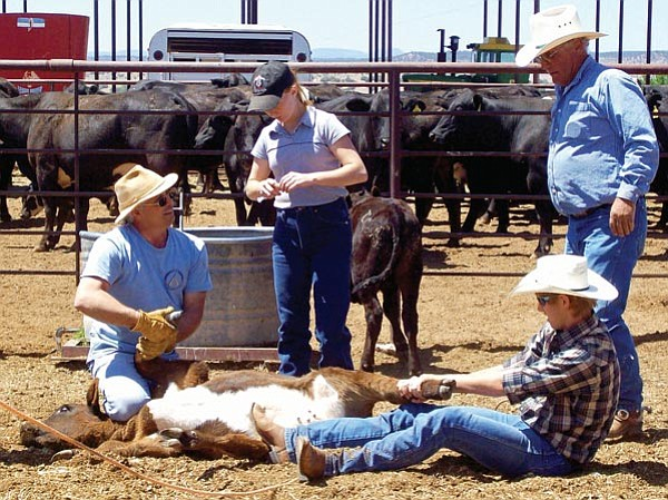 Courtesy <p> Achieve Academy students Amber Lovett, center, and Ian Pendergast, right front, helped vaccinate calves at Big Chino Farms this past spring.