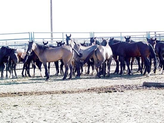 Courtesy/BLM Wild horses await adoption at a previous Bureau of Land Management event.