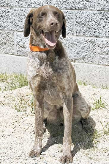 Courtesy/Michael Herrick<p> This is Jack, a  4-year-old German short-hair pointer. Jack likes kids of all ages and car rides. He is a sweet dog but likes to jump fences, so he will need some training. For information on adoptable pets, call 445-2666.