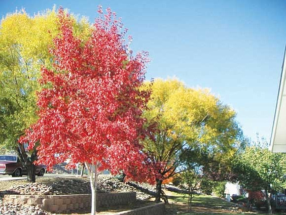 Courtesy<p> Raywood Ash is known for its spectacular fall color.