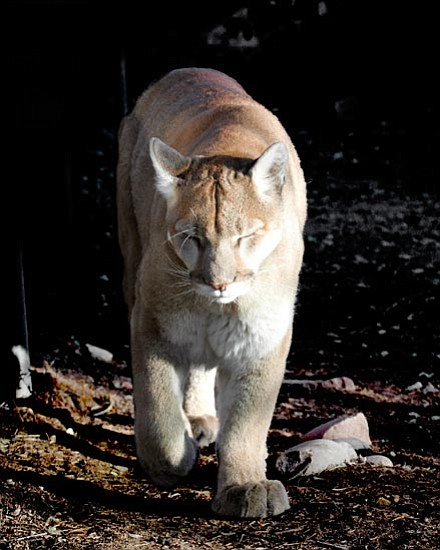 "Courtesy ""Abbey,"" the zoo's 19-year-old mountain lion, came to Prescott in 1990. This past week, a veterinarian euthanized her because of health problems."