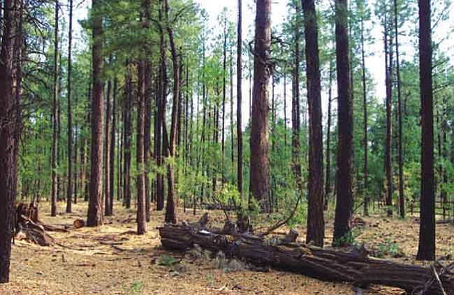 This photo shows a ponderosa forest recently thinned and restored to a healthier, more natural state.  Courtesy