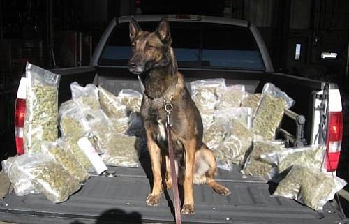 YCSO/Courtesy photo<br> Yavapai County Sheriff's K9 Neo poses with more than 21 pounds of high-grade marijuana.