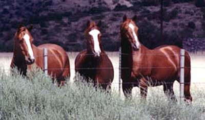 Tim Wiederaenders, file/The Daily Courier<br> Passersby catch the attention of three horses on state land in northern Arizona.
