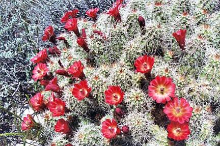 Courtesy photo Hedgehog cactus (Echinocereus triglochidiatus) is an excellent, firewise choice.