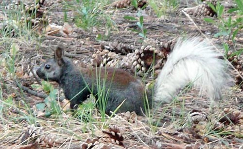 Courtesy<p> The Kaibab squirrel is found only on the Kaibab Plateau in northern Arizona.