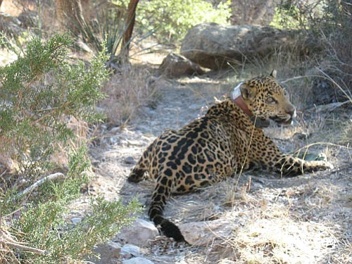 "Courtesy/Arizona Game and Fish<p> Arizona Game and Fish Department biologists recently captured this male jaguar, named ""Macho B,"" during a research study southwest of Tucson."