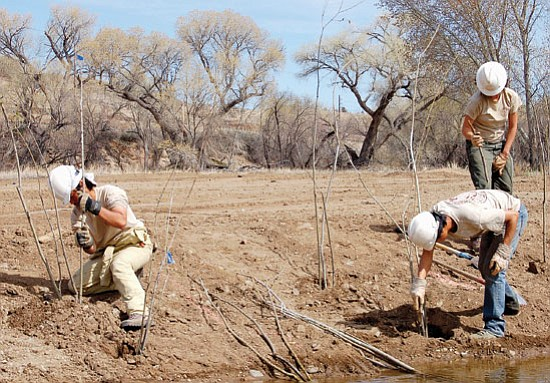 Doug Cook/The Daily Courier<p> Volunteers with American Conservation Experience this past Friday begin planting harvested cottonwoods, red willows and shrubs along a creekbed northeast of the Prescott Lakes Parkway and Highway 89 intersection off Sundog Ranch Road.