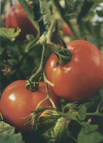 Courtesy photo<br> The most important step to great tomatoes is plant selection.