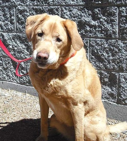 Courtesy/Darrell Thompson<p> This is Bailey, an eight-year-old spayed female golden retriever. She is available through our Seniors for Seniors program for no adoption fee. She is a really sweet dog who loves to go for walks but she likes to chase horses. If you would like to meet Bailey or any of our other great pets, please come by the shelter or one of our adoption locations. You can call 445-2666 for more information.